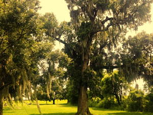 oak trees with Spanish moss along Mississippi River